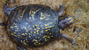 A box turtle visit