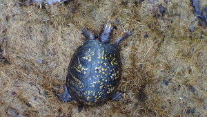 box turtles (2)